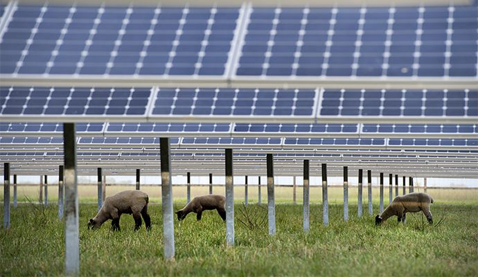 sheep grazing underneath a SunPower solar system
